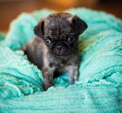 Cute Brindle Pug Puppy