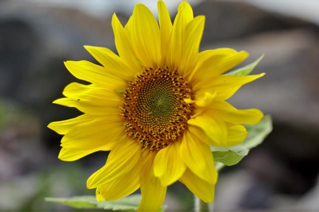 Delight in the beauty of sunflowers in your own garden. Here's an easy way in growing them successfully.