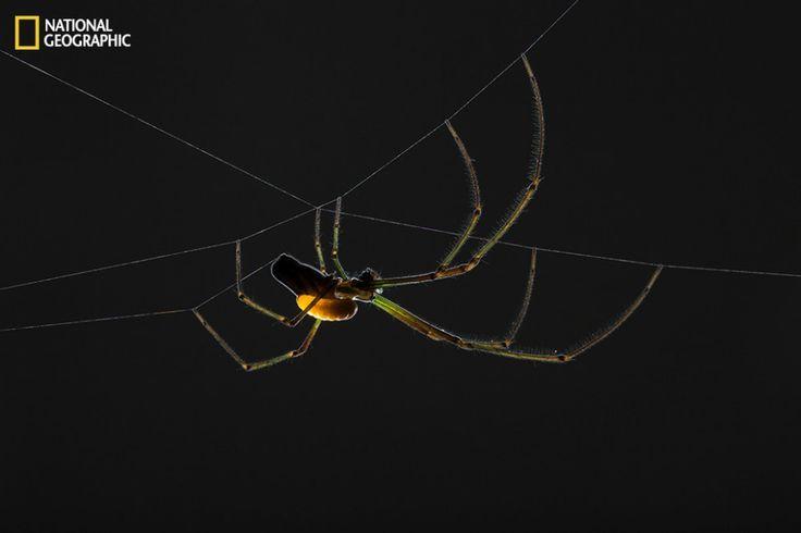 Leucauge argyra  Paralisada pelo ferrão da vespa Hymenoepimecis argyraphaga, fica estática enquanto seu algoz deposita ovo em seu abdômen. o ovo choca, a larva continua grudada como sanguessuga, alimentando-se dos fluídos internos por uma semana. pronta para gerar seu casulo, a larva coage a aranha a construir último projeto. Rasgando a própria teia, aranha tece uma feita apenas de fios grossos. A larva compensa aranha sugando até deixar seca. se encasula nos fios, suspensa em segurança.