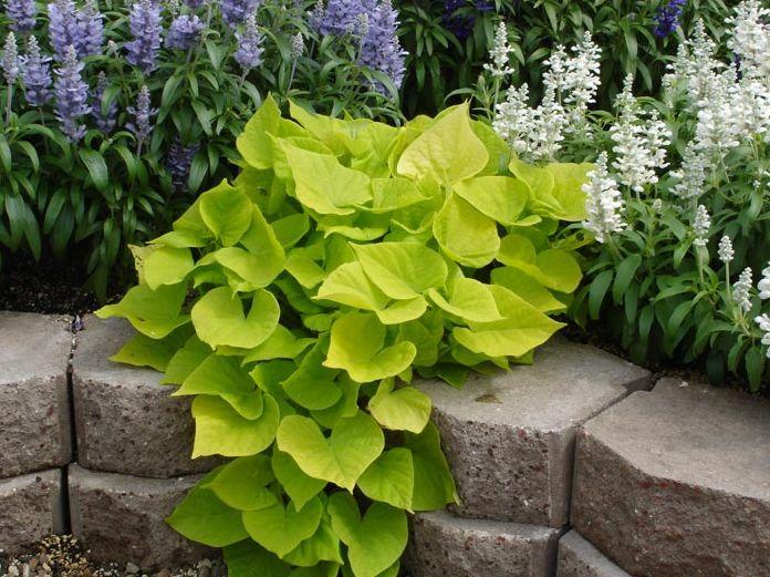 Ipomoea batatas les horticulteurs responsables des for Plante verte vivace exterieur