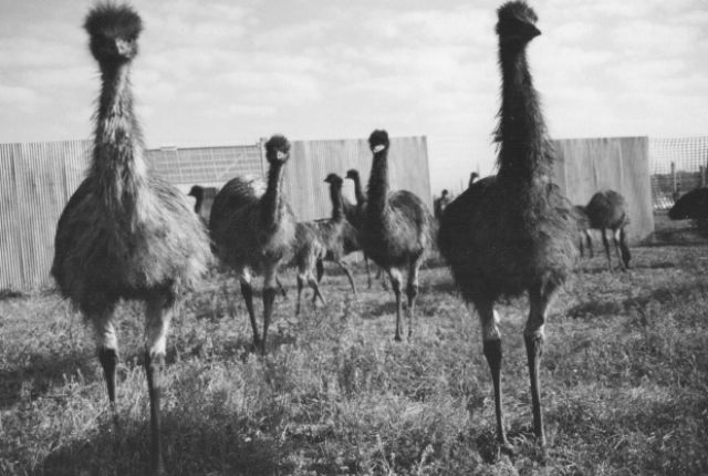 The Great Emu War of 1932 | Mental Floss. Really. In 1932, the emus won.