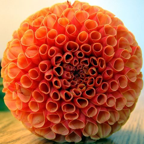"""From local honey blog. A photograph of the flower named """"The Dahlia."""""""