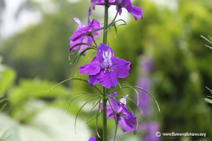 Images and Places, Pictures and Info: purple delphinium flowers