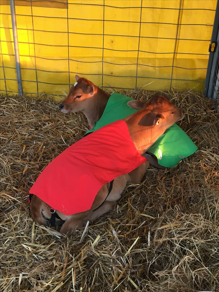 Big day for theses 2 babies.  Lots and lots of pats and cuddles at Agfest. Bedded down for the night.