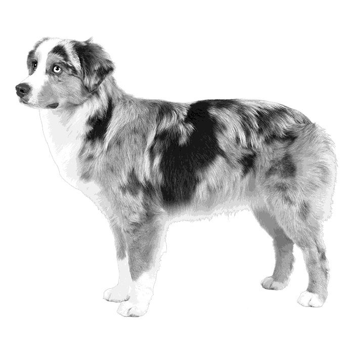 Miniature American Shepherd Breed Standard Illustration. New AKC breed.