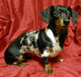 Tinker is an adoptable Dachshund Dog in Penn Yan, NY. NAME: Tinker  AGE: 7 years  SEX: Female  BREED: Dachshund  WEIGHT: 8.3 lbs  COLOR: Black & Tan Dapple  COAT: Smooth coat  UP TO DATE: Yes  SPAYED/...