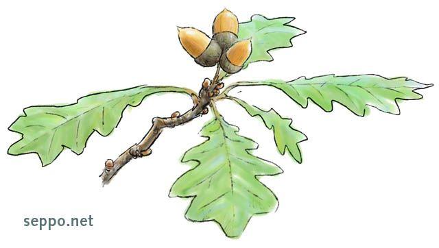 Metsätammi ja tammenterhot, keywords:  tammi metsätammi tammenterho Quercus robur piirros