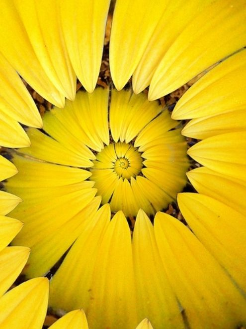 Sunflower Petal Spiral | OTTOKALOS