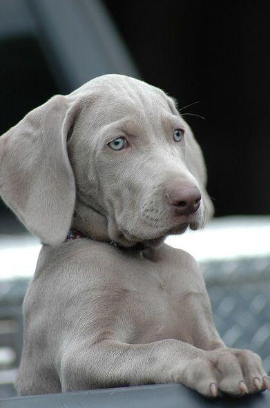 NOTICE: http://all-labrador-retrievers.com/silver-labrador-controversy-official-statements/