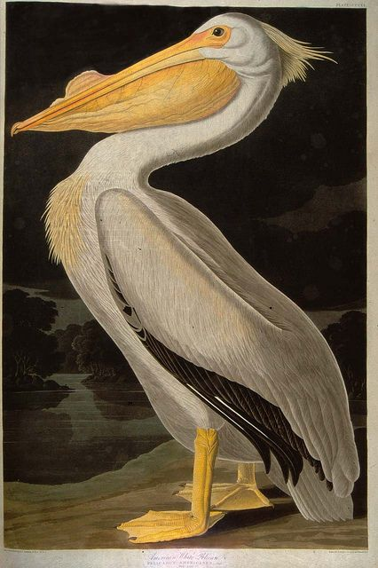The White Pelican from Audubon's Birds of America by University of Glasgow Library, via Flickr