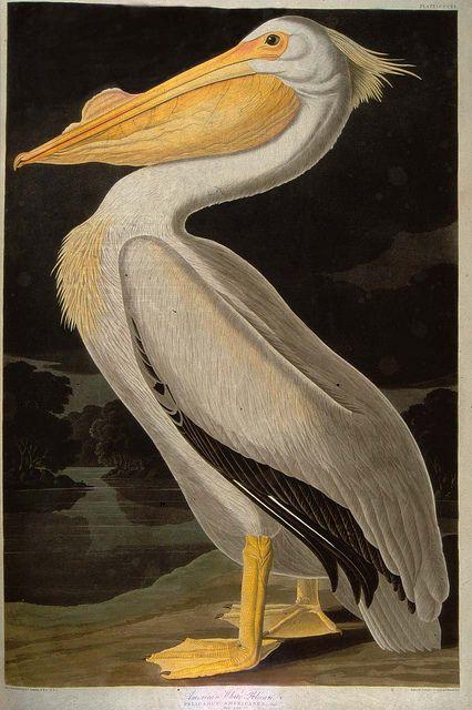 The White Pelican from Audubon's Birds of America, via Flickr.
