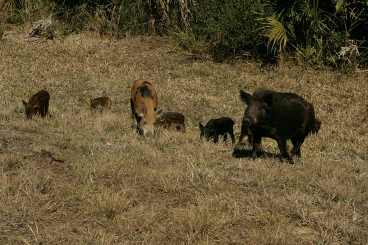 'Hog Apocalypse': Texas has a new weapon in its war on feral pigs. It's not pretty. - The Washington Post