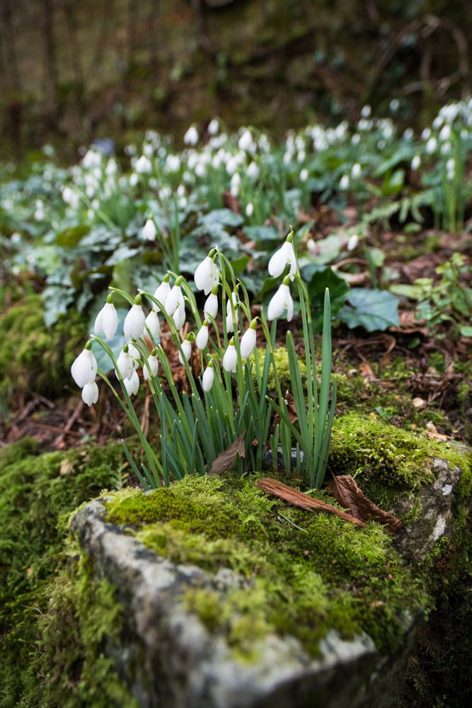 Snowdrops planted in a bed