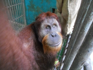 Leseur - www.earth4orangutans.com See how he became blind!