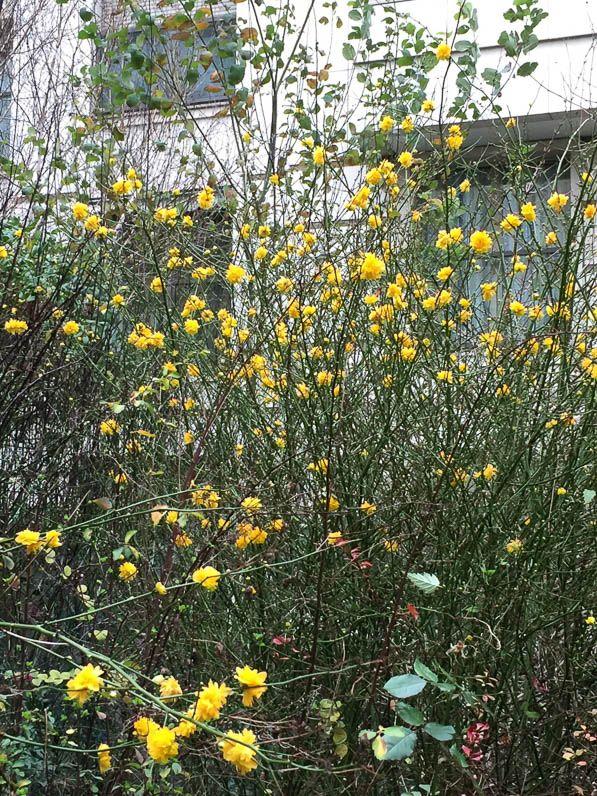 Corète du Japon fleurie avant la Saint-Valentin http://www.pariscotejardin.fr/2016/02/corete-du-japon-fleurie-avant-la-saint-valentin/