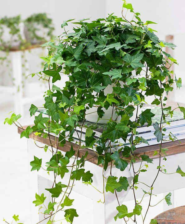 10 Plantes Retombantes d'Intérieur Indispensables à la Maison  Lierre 'Pittsburgh'
