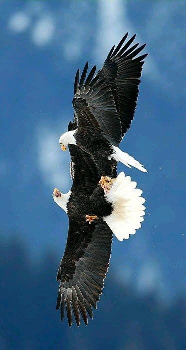 Bald Eagles fighting over fish in Alaska. - title Battle in the Sky - photographer Ari Hareghi