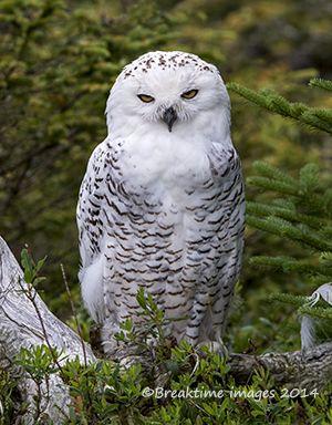 "#SnowyOwl ""Got my mad face on"""