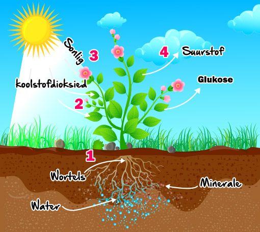 Hoezit Fotosintese Plante
