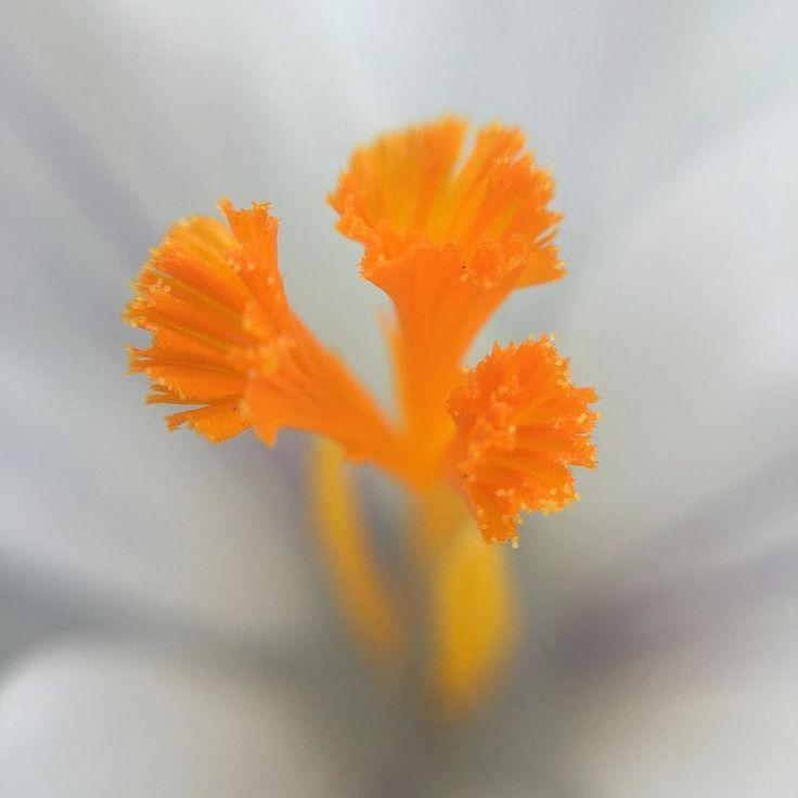 Focus stamens #crocus #springflower #portland #macrophotography #macro #details #stamen #yellow #upperleftusa #spring
