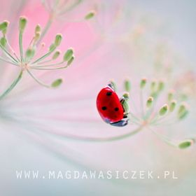 Magda Wasiczek / Collection_collection_ladybirds_ladybugs_coccinella_