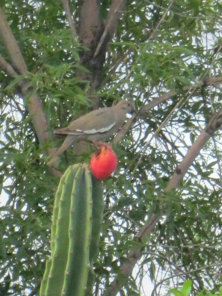 white-winged dove and cactus fruit by hayley jackson