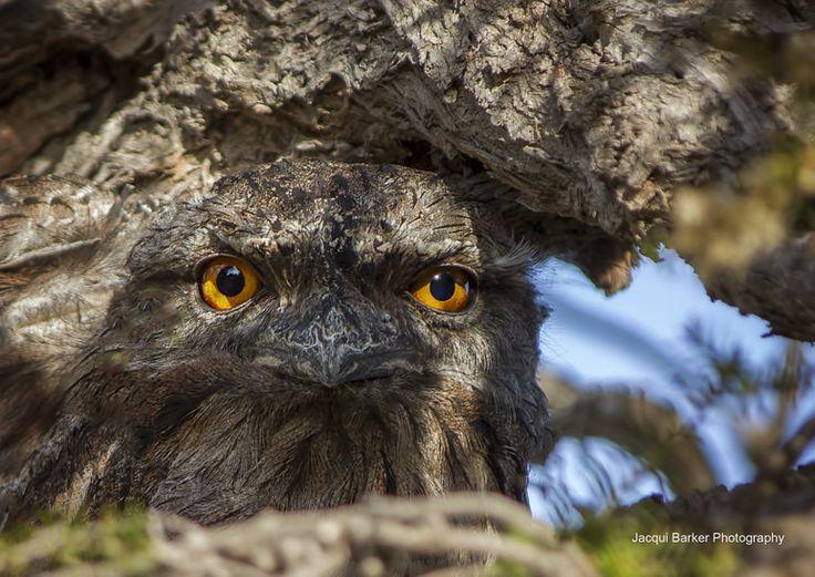 https://flic.kr/p/FF5VcH | Tawny Frogmouth (Mopoke) - Coffin Bay South Australia