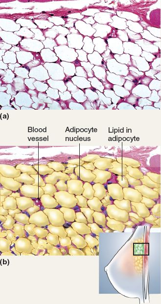 This tissue is adipose tissue (catagorized under loose connective tissue) and is commonly referred to as fat. This tissue holds triglycerides and is good for insulation.