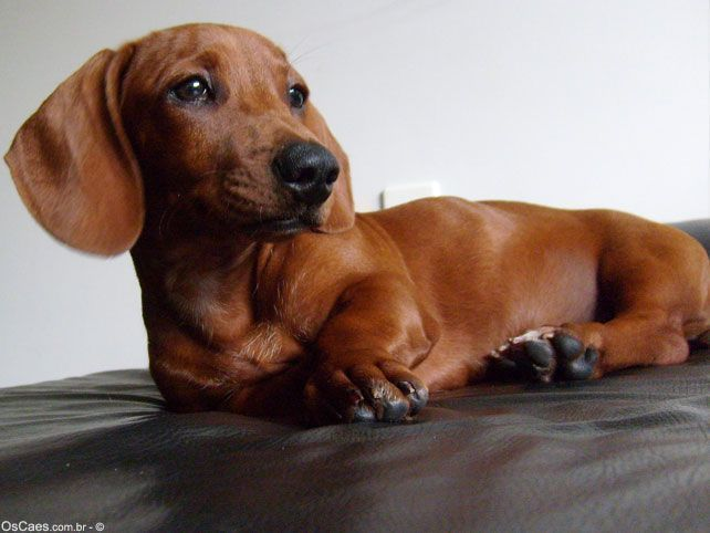 Red Doxie My Fav Smooth And Red And Female Dachshund Dog