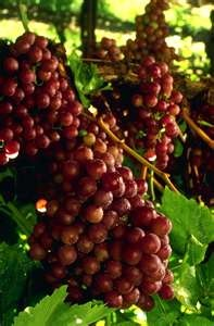 Flame Grapes: Weird Food, Fruit, Challenge, Red Grapes, Gardening, Kitchen, Flame Seedless