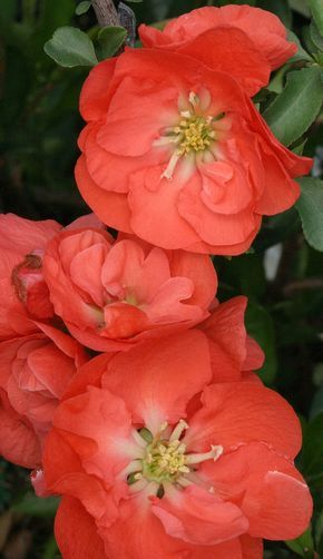 Double Take Orange Quince delights with richly colored, double flowers that provide a stunning early spring display. Drought tolerant once established, it may be pruned to shape after flowering. Intense spring color. Good for cut flowers,  thornless and deer resistant too!