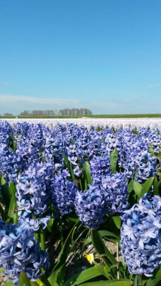 Hyacint Netherlands North-Holland