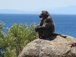 Chacma baboon, also known as the Cape Baboon found in the Mountain sides of Hermanus http://www.windsorhotel.co.za/
