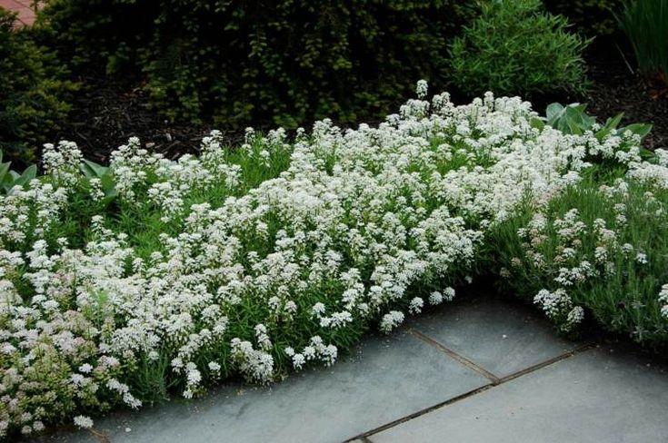 plante plein soleil ibéris-blanc-Ibérides-Iberis-bordure-massif-jardin