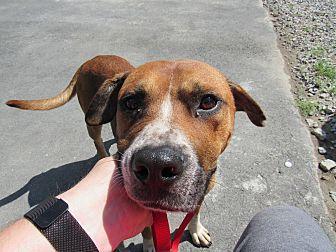 Boxer/Labrador Retriever Mix Dog for adoption in Henderson, North Carolina - Reese