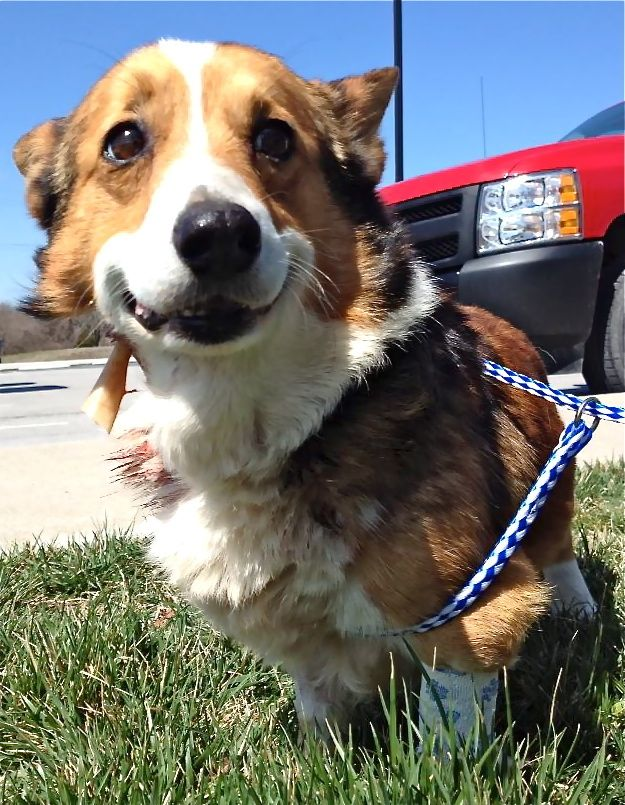 Happy Smile =) | The Most Amazing Life Changing Corgi Rescue Story