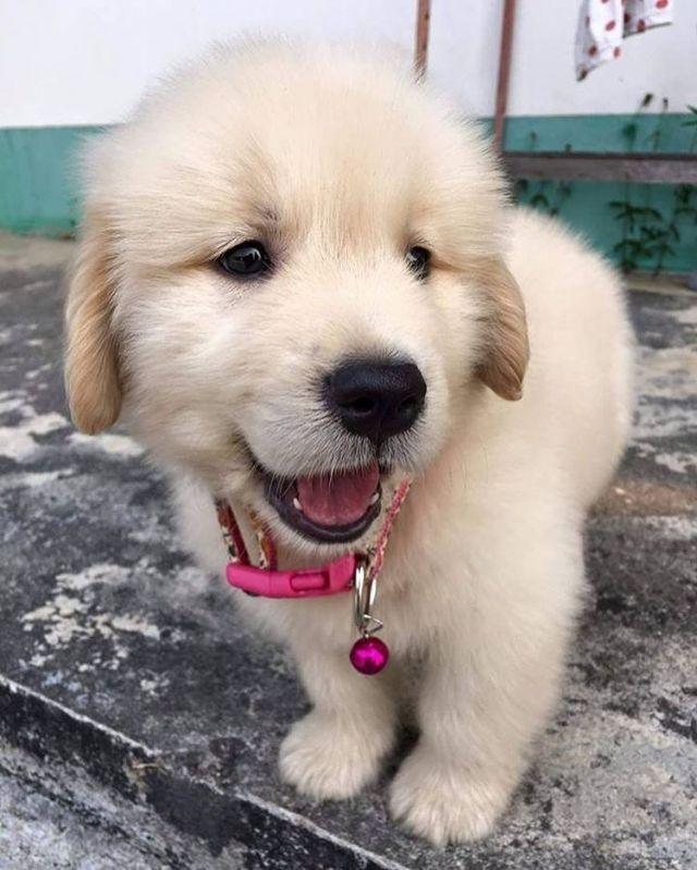 Lovely little Golden Retriever puppy...