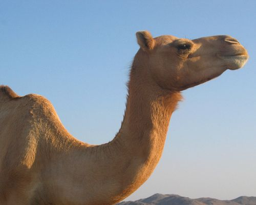 Camels are pregnant 13-14 months; llamas approx. 330 days (via mnn.com)