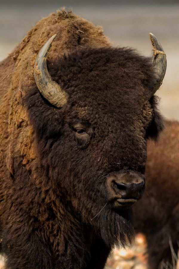 Bison Head Shot by Howard Smith