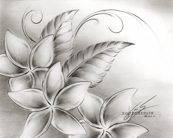 Plumeria flower a leaves sketch