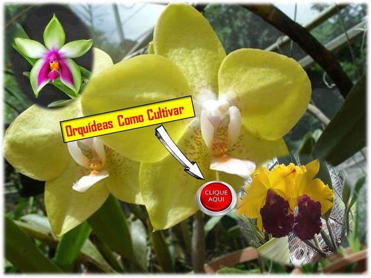 Agora minhas orquídeas florescem todo ano . Foi nesse site que eu aprendi . Dava muita manota rs , não fazia o certo. Enfim , super indico , foi solução para ter minhas lindas orquídeas ! Todas estão lindas e sem doenças . Lá explica mais , só clicar na imagem que cai no site .AMO ORQUÍDEAS ! #flores #orquídeas #jardinagem