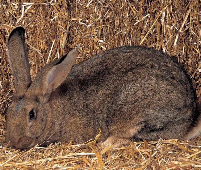 flemish giant rabbit and dog - photo #26