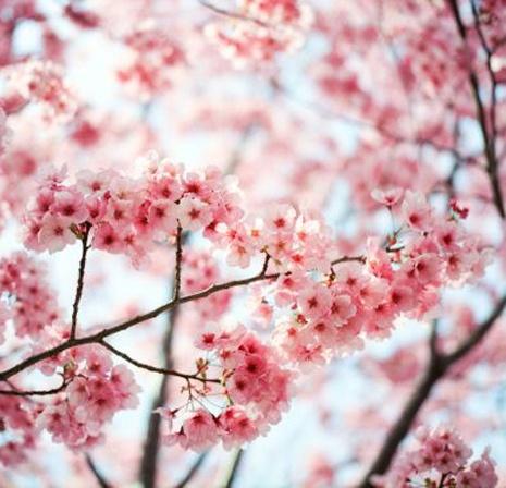 Cherry blossom tattoo inspiration