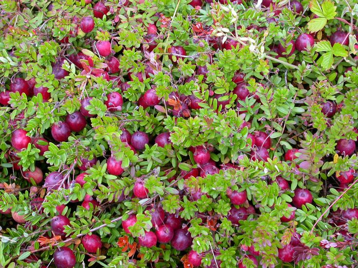 261 best images about vaccinium on pinterest blueberry for Vaccinium macrocarpon