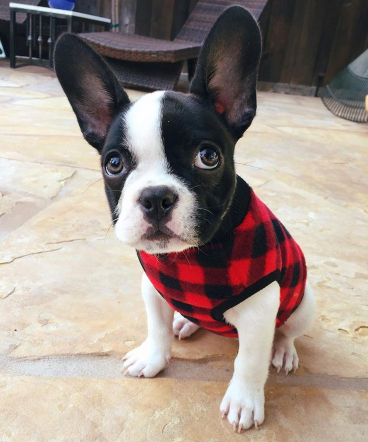 Juno, the Frenchton, Who remembers when mom bought me this sweater and everyone…