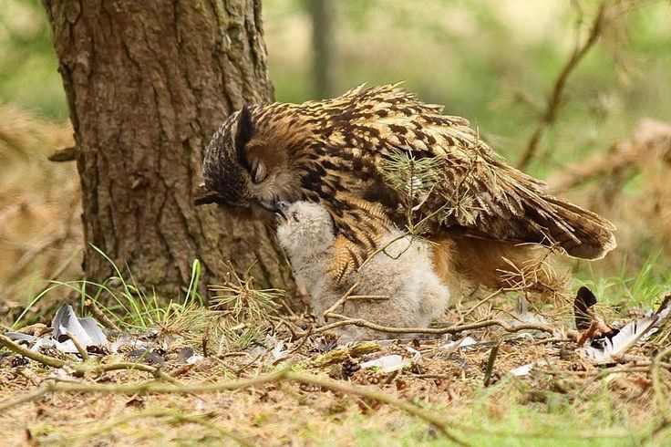 A Eurasian Eagle Owl mother feeding her chick in North Brabant Province, Netherlands. Photo by Rob Belterman