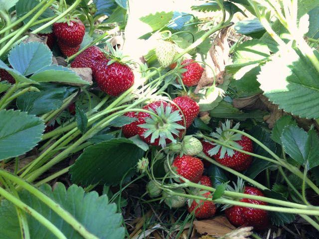 Strawberries at Pamona Gartenbau near Berlin.