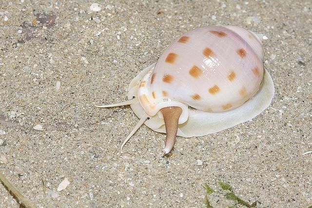 a house is a home: Captiva Island, Bonnet Shell, Bonnet Semicassis, Bonnet Snail, Turtles Slugs Snails, Bonnet Por