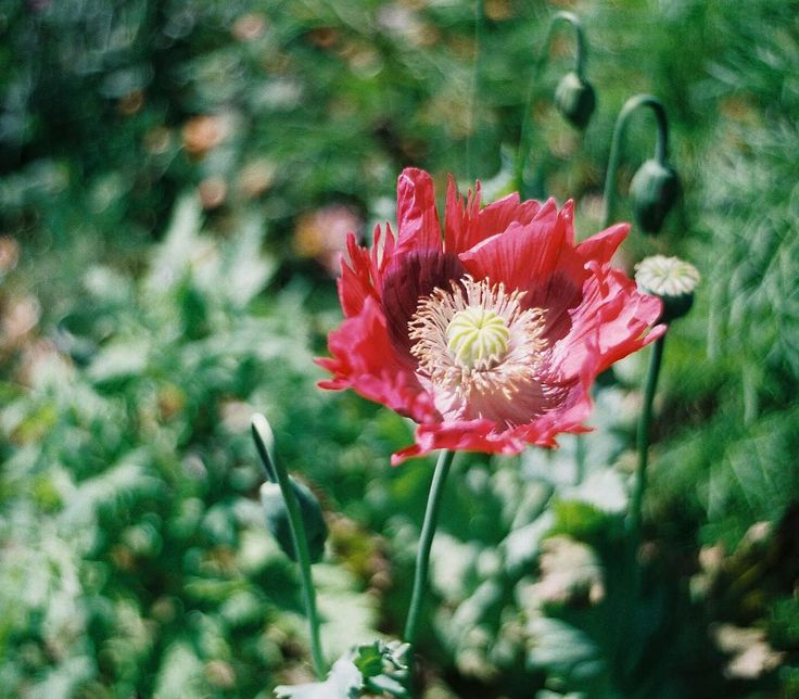 A pretty pink poppy in the garden of Ken and Sue summer 2013.     #analog #35mm #film #thefilmcommunity #shootfilm #filmisnotdead #analogue #liveauthentic #film #filmphotography #flower #poppy #pink #summer #floral #필름 #フィルム #胶片 #필름사진 #フィルム写真 #пленка #nofilter