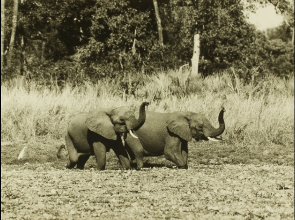 Throwback Thursday: These Gorongosa elephants in the 1960's have their trunks in the air, sniffing out something interesting.Thanks to Clem Haagner for this photo!